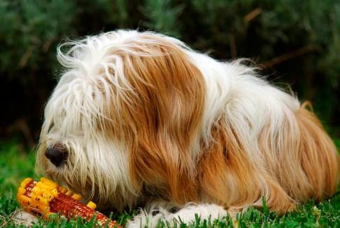 狗狗吃蔬菜1.png